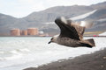 Skuas flying on Deception island Royalty Free Stock Photos