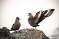 Skuas relations in Antarctica Stock Photography