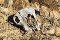 Skull of animal lie on the stones in the desert Royalty Free Stock Photo