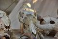 Skull cloven-hoofed Royalty Free Stock Photo
