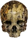 Skull covered with tree root