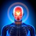 Skull cranium anatomy bones medical imaging Royalty Free Stock Photography