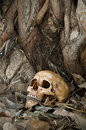 Skull on dry leaf still life photography at bottom of big bodhi tree bodhi or pho tree is symbols of buddhism Stock Photos