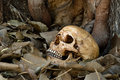 Skull on dry leaf still life photography at bottom of big bodhi tree bodhi or pho tree is symbols of buddhism Royalty Free Stock Photo