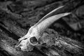 The skull of a goat on rotting logs black and white close up Royalty Free Stock Photo
