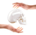 Skull in hands high resolution d render Stock Photography