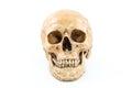 Skull model on isolated white background Royalty Free Stock Image