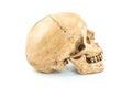 Skull model on isolated white background Stock Images