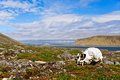 Skull of a polar bear on Novaya Zemlya (New Land). Royalty Free Stock Photography