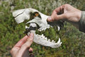 Skull of a predator Royalty Free Stock Photo