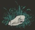 Skull of a predator. Royalty Free Stock Photo