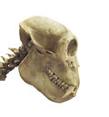 Skull of a primate isolated close up side view the with long incisor teeth on white Royalty Free Stock Image