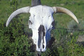 Skull of texas longhorn steer in taos nm Royalty Free Stock Photo