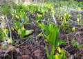 Skunk cabbage field Royalty Free Stock Photo