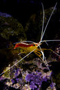 Skunk cleaner shrimp  lysmata amboinensis Royalty Free Stock Photography