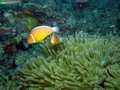 Skunk Clown Fish in anemone Fiji Stock Photography
