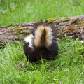 Skunk on log Stock Photography