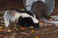 Skunk (Mephitis mephitis) Walks Past Raccoon (Procyon lotor) in T Royalty Free Stock Photo