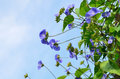 Sky blue Cluster vine Royalty Free Stock Photo