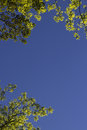The sky through the branches blue tree environment Royalty Free Stock Photos