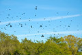 Sky filled with crows swarm of Royalty Free Stock Photos