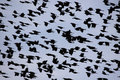 The sky filled with flying blackbirds Royalty Free Stock Images