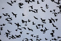 Sky filled flying blackbirds Stock Photos