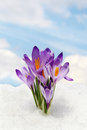Sky and flower crocus and snow spring Royalty Free Stock Photography
