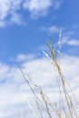 Sky and grass feather in wind against a blue nature concept background Stock Images