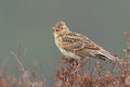 Sky lark alauda arvensis singing on the heather Royalty Free Stock Photography