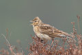 Sky lark alauda arvensis singing on the heather Stock Photography