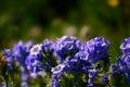 Sky Pilot Wildflower Flower Plant Blooms