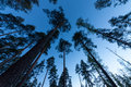 Sky in Pine Forest Royalty Free Stock Photos