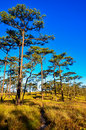 Sky and pine forests blue with Royalty Free Stock Image