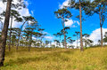 Sky and pine forests blue with Stock Photography