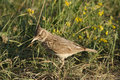 Skylark Bird Royalty Free Stock Photo