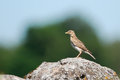 Skylark on a rock with catch Royalty Free Stock Photo