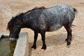 Skyrian wild pony drinking water Royalty Free Stock Photo