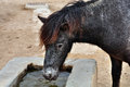 Skyrian wild pony mountain drinking water from a trough endangered horse Royalty Free Stock Photos