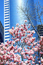 Skyscraper and Magnolias Royalty Free Stock Photo