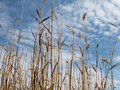 Skyward perspective wispy clouds form a backdrop for tall grasses Stock Photo