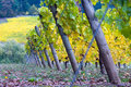 Slanted grapevines fall is arriving at this oregon winery with colors changing from green to yellow Stock Images