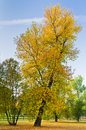 Slanted tree in a park with yellow autumn coat, Belgrade Royalty Free Stock Photo