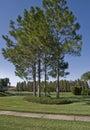 Slash Pines Royalty Free Stock Photo