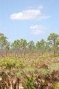 Slash Pines in Saw Palmetto flatlands Stock Photo