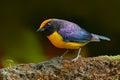 Slate-throated Redstart, Myioborus miniatus, beautiful bird from tropic Costa Rica. Tanager in the nature habitat. Wildlife scene Royalty Free Stock Photo