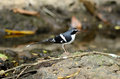 Slaty-backed forktail Royalty Free Stock Photography