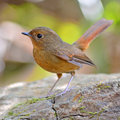 Slaty blue flycatcher bird small brown female ficedula tricolor standing on a rock breats profile Stock Photos