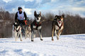 Sled dog Royalty Free Stock Images