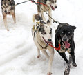 Sled dog Stock Images
